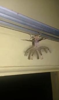 影/天花板驚現「超詭異生物」!他放大看「手腳瞬間變長」嚇壞:外星來的