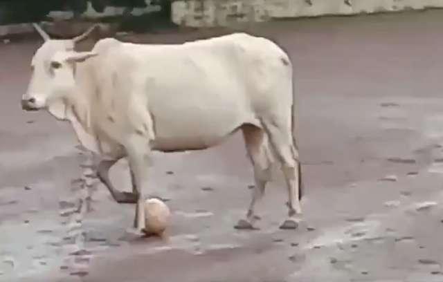 影/男孩舉辦足球比賽…公牛「突襲搶球」當玩具 超萌反應網笑翻:國家隊4ni~