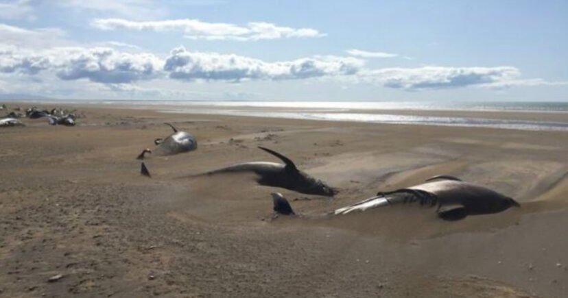 冰島海灘驚見「超過50隻」鯨魚擱淺 飛行員曝「沙子下埋更多」網崩潰:人類做了什麽?