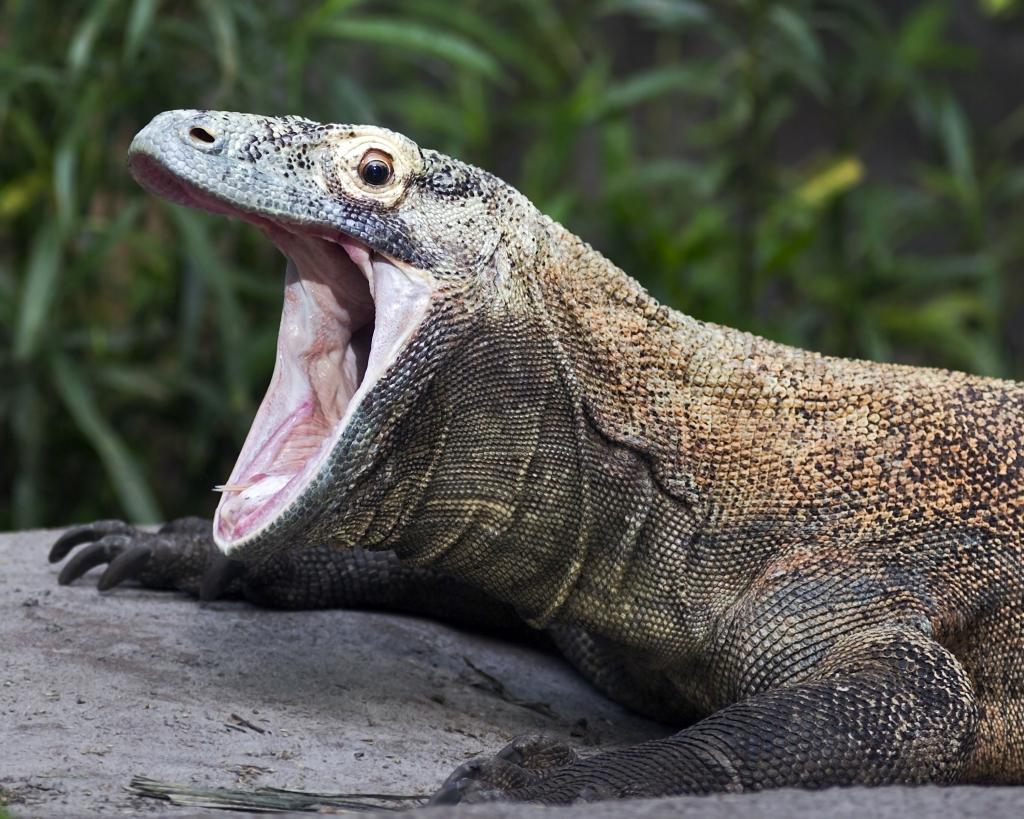 影/他拍下「世界最巨蜥蜴」 科摩多龍進食畫面 牠用「6口吞掉猴子」全網看傻:太衝擊…