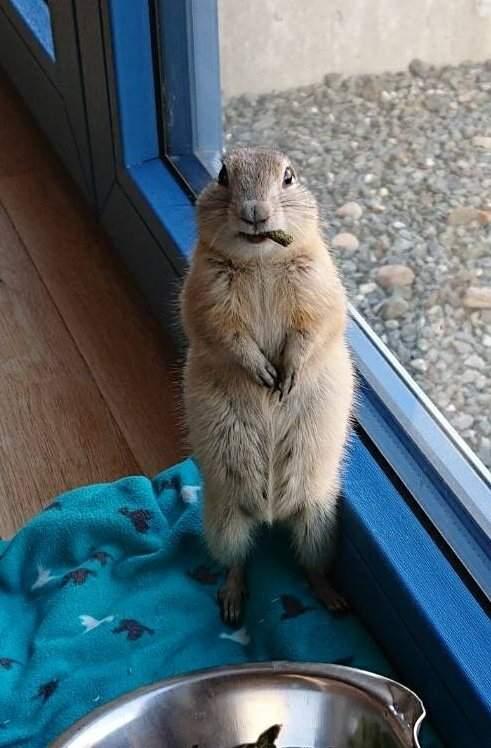 影/理查森地松鼠「超呆萌照」爆紅!牠呼呼大睡露出「翻肚毛球」網暴動:好想戳❤