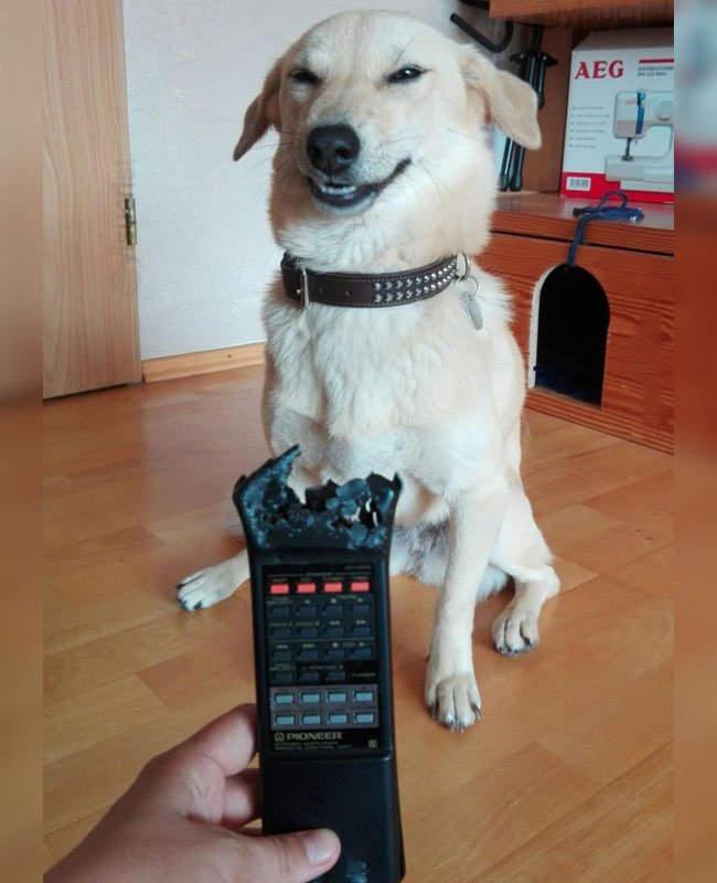 柴犬咬爛手把「露邪惡表情」爆紅!眼尖網友卻秒戳破「技術性」重點:主人在耍心機!
