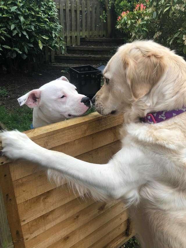 超害羞小黃金「愛上鄰居」性格大變 主人曝光「相愛過程」網被閃瞎:狗都比我幸福!