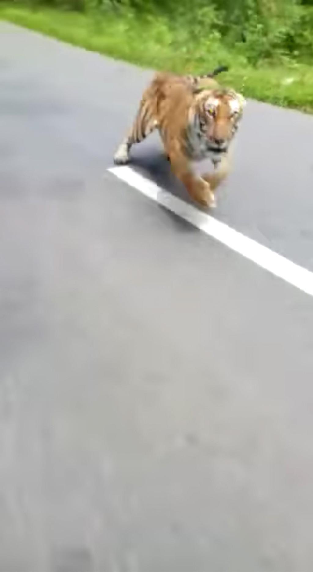 影/超毛!騎車時「路邊衝出大老虎」拔腿直追 騎士「差點被吃」超驚險畫面曝光