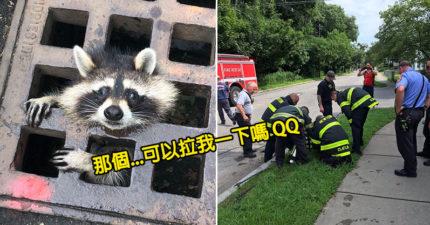 呆萌浣熊「卡在水溝蓋」超可憐 消防局出動「10位壯丁」救援…路人憋笑:是不是吃太好?