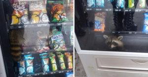 貪吃浣熊「超狂偷吃法」整隻卡進自動販賣機 警局爆笑宣布:已逮捕!