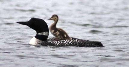 他捕捉到「大鳥背小鴨游泳」的有趣畫面 研究員公布「變成一家人」的原因:是神的安排!
