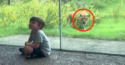 影/當一隻獅子「真的想把你吃掉」的時候 這就是牠會做的行為!