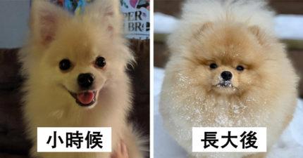15個永遠都像小孩子一樣的「汪界凍齡代表」狗狗品種 吉娃娃還不是最可愛的!
