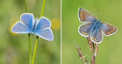 瀕危40年「超夢幻藍蝶」數量突暴增 專家曝光「超心酸原因」:地球生病了…