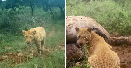 夫妻花4年時間等待 終於又捕捉到「罕見草莓豹」覓食身影!