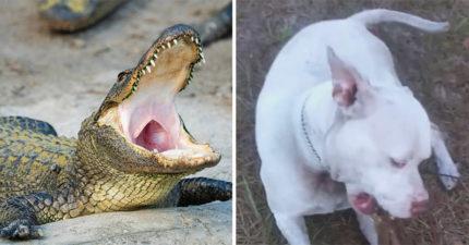 她去公園遛狗…鱷魚突然「叼走愛犬」當大餐 主人「目睹全程」崩潰:牠在求救QQ