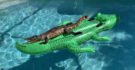 民宿驚見「鱷魚在泳池」爽爽曬太陽 往下看氣墊「跟牠長太像」網爆笑:只壓自己人!