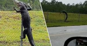 影/開車撇見黑影…仔細看才發現「超巨間諜鱷魚」爬過鐵絲網 最後潛入軍事基地!