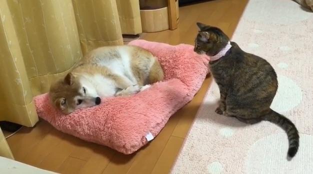 影/貓皇和柴柴上演「爭奪床墊戰」 牠「用看的就獲勝」網爆笑:是宿命!