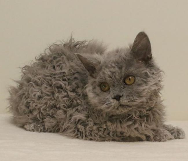 像小綿羊的貓!20張超級罕見的「天生捲毛貓」 牠「連鬍鬚都捲捲der」萌度爆表