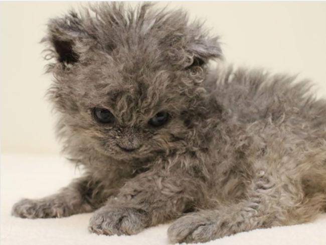 像小綿羊的貓!20張罕見「天生捲毛貓」 連鬍鬚都捲捲der萌度爆表