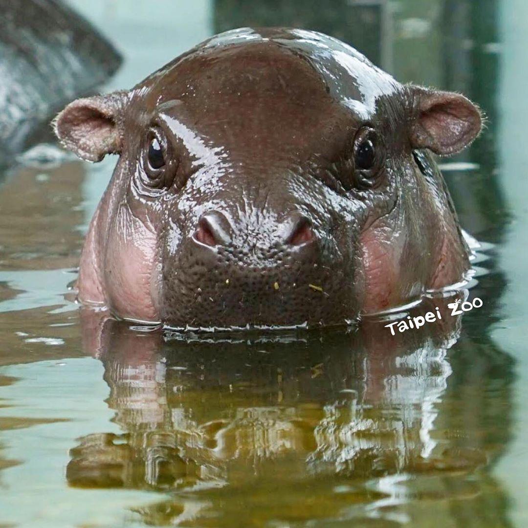 如何分辨侏儒河馬?官方曝光牠「水底下模樣」逗笑眾人 「超萌下巴」嚇壞網友:好熟悉