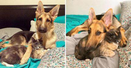 愛媽準備送走中途貓 家中德國牧羊犬卻緊抱「最要好的貓姊姊」:不准把她送走!
