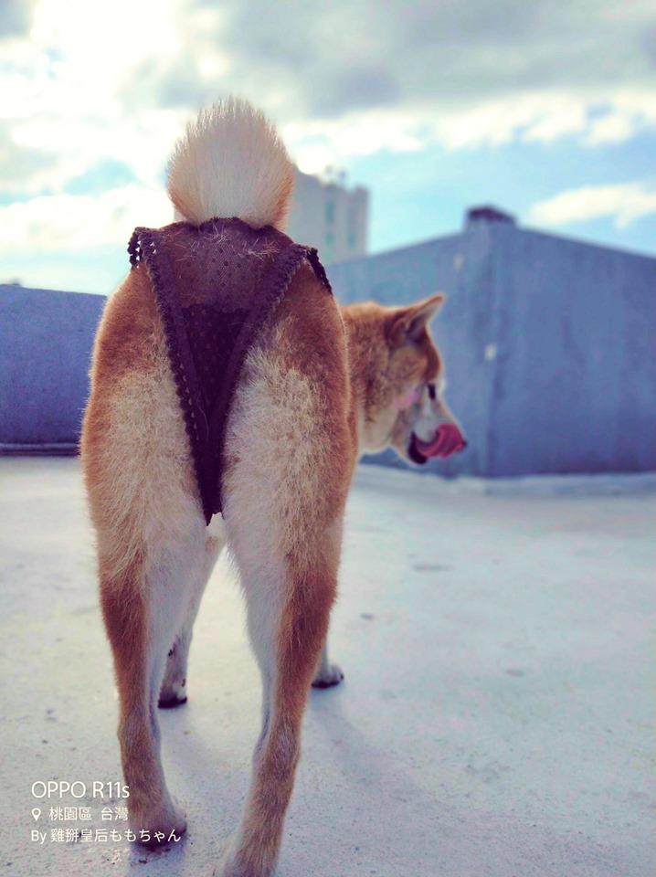 她幫柴犬穿上「性感網襪」比網美還適合 神捕捉「魅惑回眸」大長腿超逆天