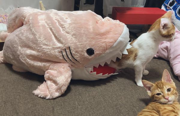 愛演貓「在鯊魚床墊」爽爽玩 下秒露出「被吃掉的恐懼」網爆笑:世界級演技!