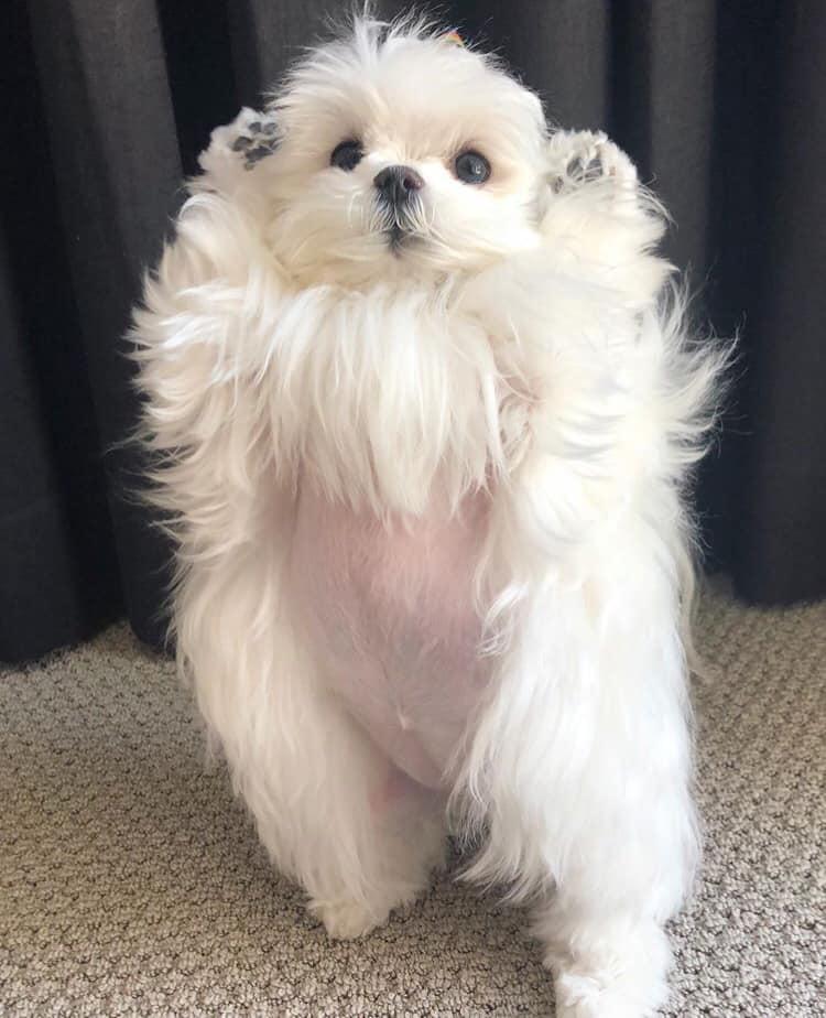 狗界瑪麗蓮夢露!瑪爾濟斯「雙手舉高」白色柔毛馬上隨風狂舞