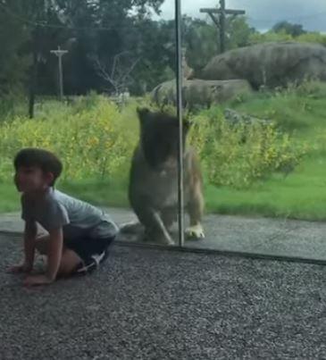 影/當一隻獅子「真的想吃掉你」的時候 這就是牠會做的行為!