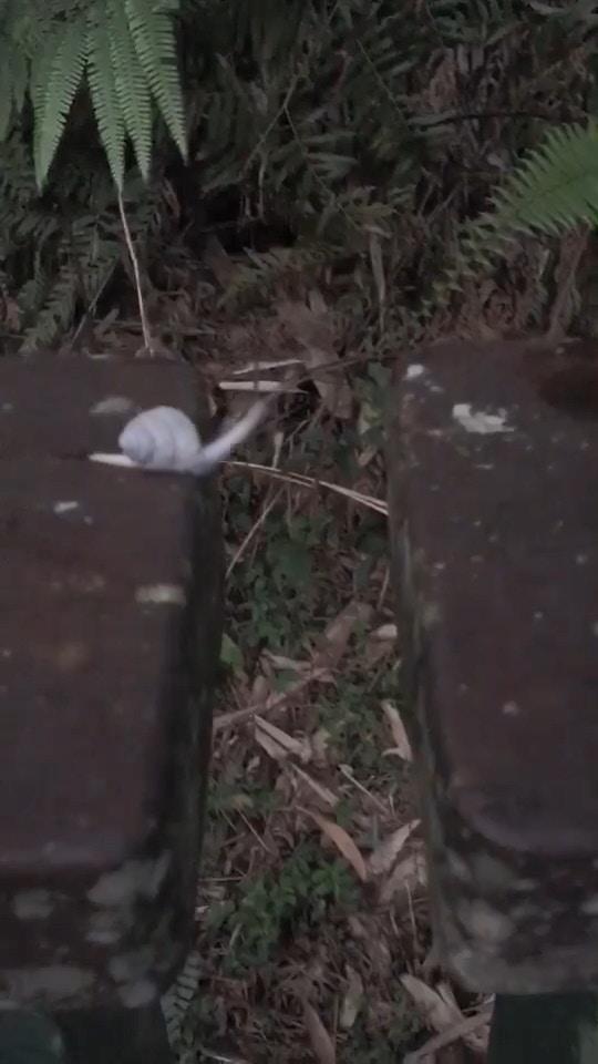 影/超勵志!他拍下「蝸牛過懸崖」的罕見畫面 展現「超強伸縮絕技」1.2萬網友讚爆