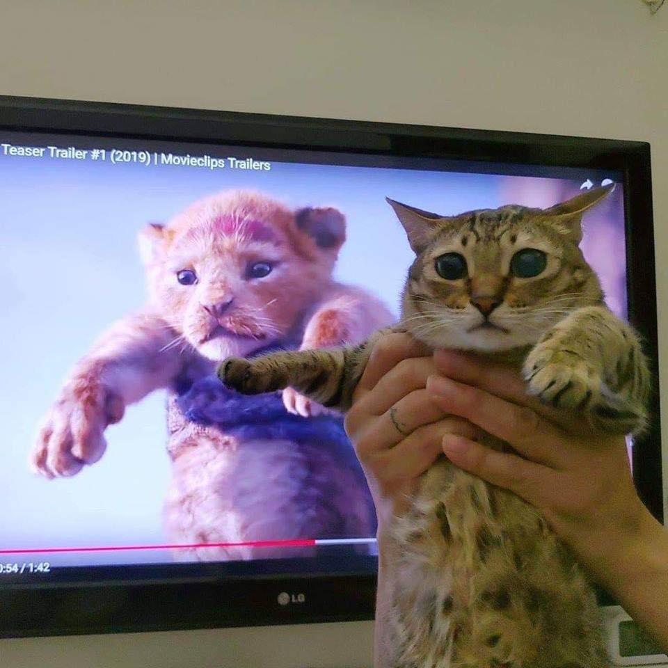 貓皇也想當獅子王!奴才瘋拍「經典舉高高」照 美短「超厭世狠勁」網笑翻:這是刀疤啦