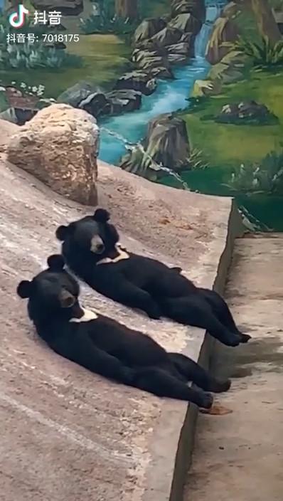 影/黑熊「躺斜坡閒聊」被發現 自在朝鏡頭「舉左手說嗨」上萬網友瘋轉發!