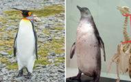 企鵝「其實不胖」被誤會太久 鱷魚在「水面下」一點都不霸氣
