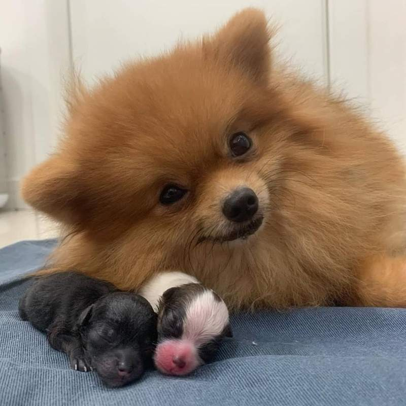 博美媽媽生小孩後本來很累 但牠一看到鏡頭竟露出「史上最幸福的表情」直接融化全網!
