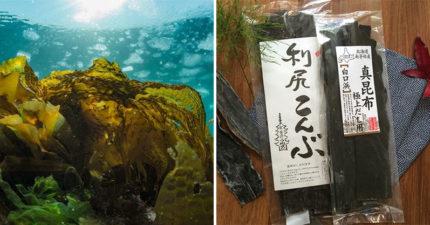 旅客問為何「昆布在海裡不會泡出高湯」?水族館神回「它在忍耐」:真的不是唬爛!