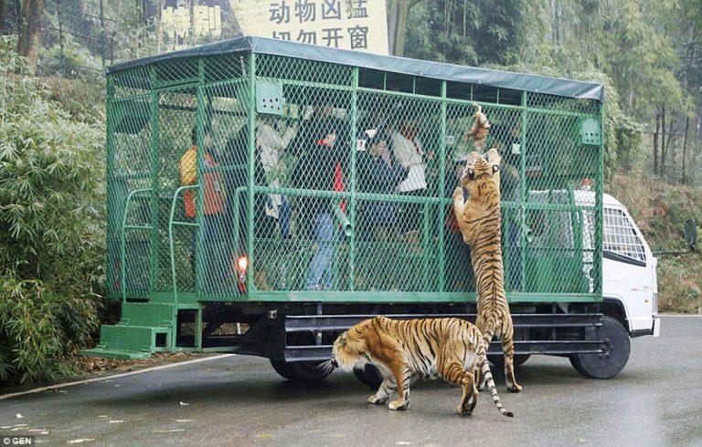 中國動物園「把遊客關在籠子裡」被參觀 工作人員:這樣動物才自由!