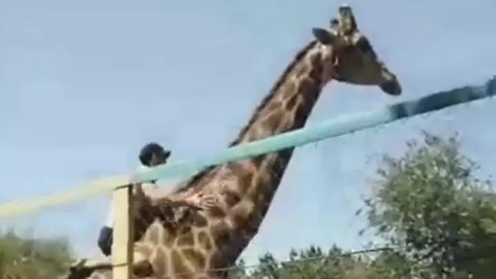 影/醉男爬過圍欄「強上長頸鹿」還超得意 他下秒「被霸氣反擊」網嗆:活該!