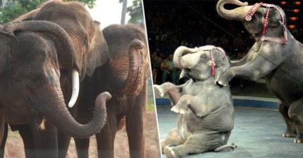 丹麥宣佈「全面禁止動物表演」 政府「霸氣灑5千萬」幫大象贖身!