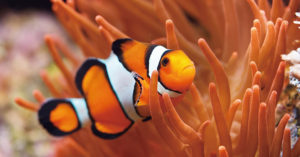 小丑魚未來將消失!生態學家發現「光汙染」害尼莫絕子絕孫:人類是罪魁禍首