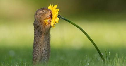 攝影師意外捕捉「小松鼠聞菊花香」唯美照爆紅 牠「睜開眼睛」畫面讓人融化❤