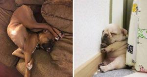 20隻怪萌狗狗的「超詭異睡姿」 睡到「違反地心引力」只有牠做得到!