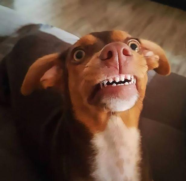 愛犬偷戴「阿嬤假牙」爆笑畫面被瘋傳 主人曝光「脫下假牙瞬間」網卻傻眼:還是戴上好了…
