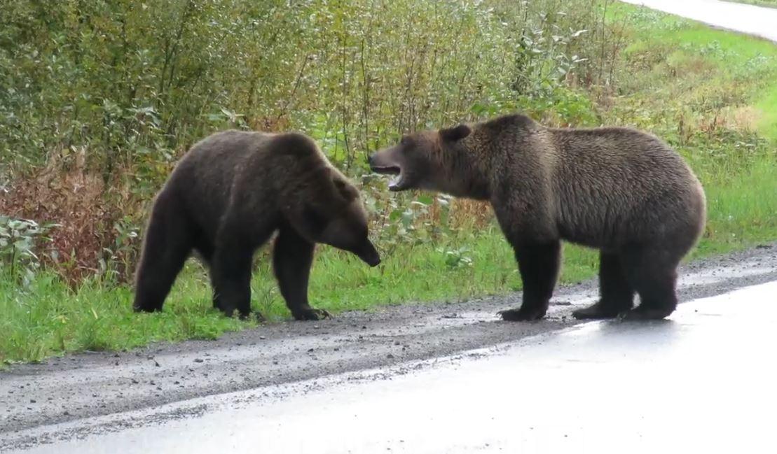 影/她驚見「2隻灰熊在路邊PK」被嚇傻!眼尖網友發現「後方特別嘉賓」卻笑翻