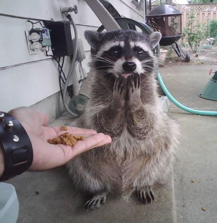 20張「可愛到讓你也想養一隻」的超萌浣熊 牠「看到食物的表情」跟女友一樣!