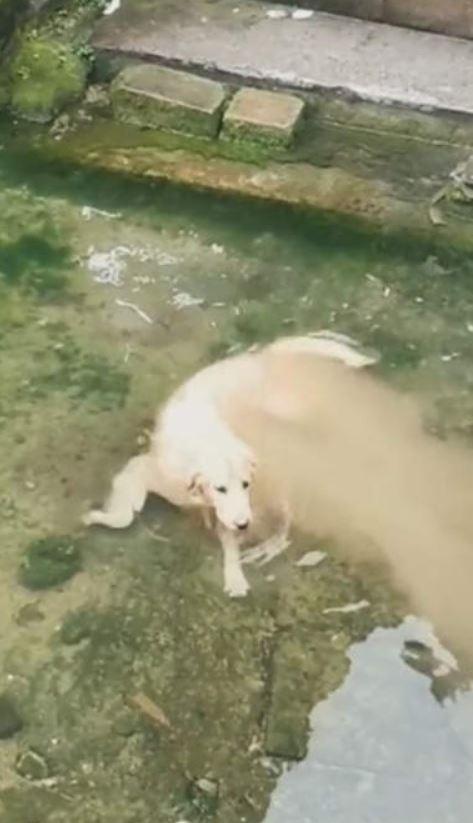 影/呆萌狗「在水中逐漸溶化」影片被瘋傳!主人揭開「調皮真相」網笑翻:變成棉花糖了~