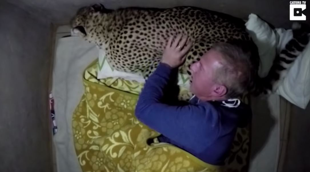 影/他搭帳篷過夜…半夜卻被「野獸闖入」搗亂 他大膽把「獵豹→枕頭」畫面超震驚!