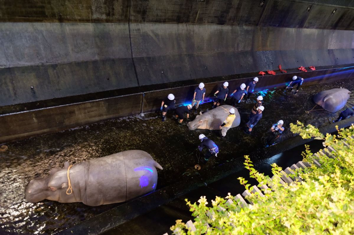 日本澀谷川驚現「3隻河馬」?野生動物「湧進市區」民眾嚇壞 官方揭「背後真相」超有意義!