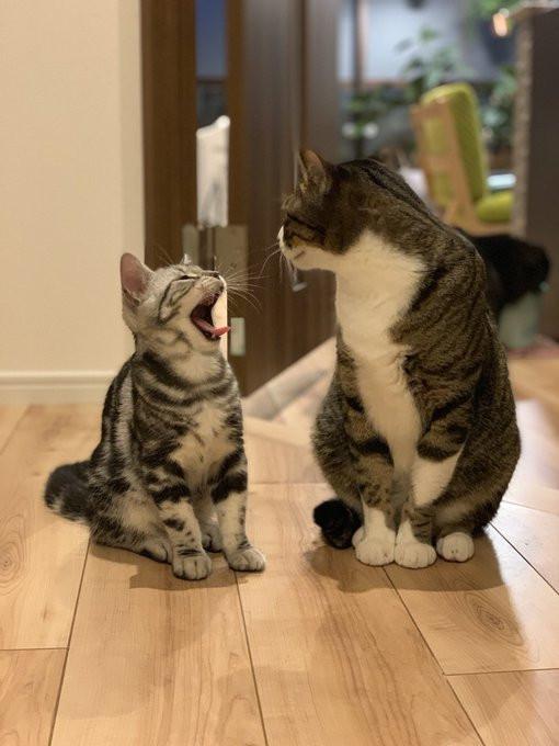 打哈欠真的會傳染?日網友拍下「大小喵輪流打哈欠」瞬間爆紅 不打代表沒同理心!