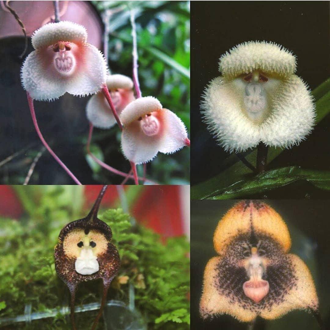 齊天大聖轉世?網瘋傳「長了猴子臉」的蘭花 起底「超狂背景」竟是最稀有品種!