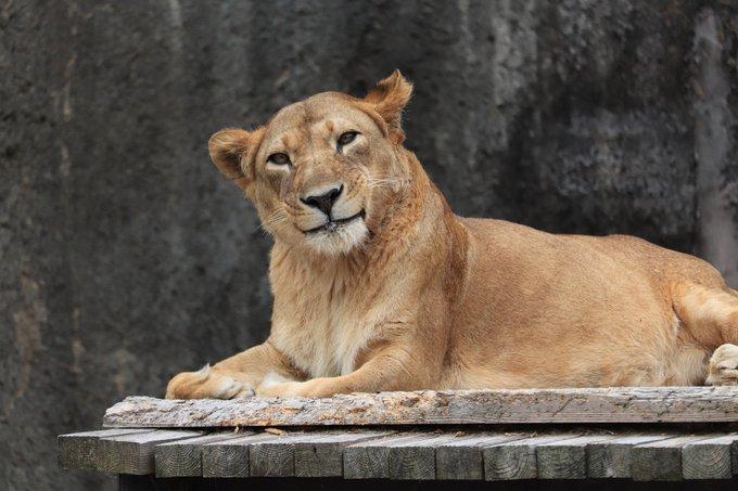 日本母獅露出「少女微笑」融化全網 牠歪頭「吐舌賣萌」10萬粉絲讚爆:蒙娜麗獅❤