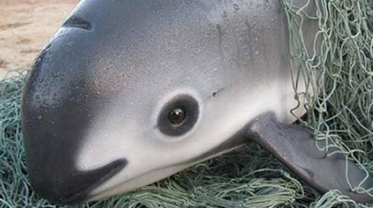海底也有貓熊?網曝光「海底貓熊」模樣超可愛 全世界卻「剩不到30隻」都是人類惹的禍!