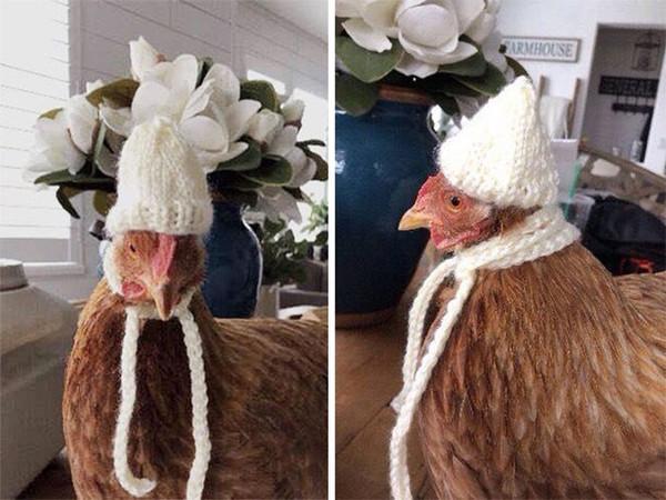 怕雞會冷…農民打造「專屬毛衣」意外爆紅 加碼推「針織毛帽」秒變伸展台現場!